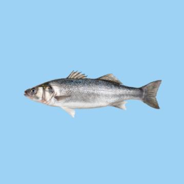 A fresh farmed Greek sea bass fish in a light blue background