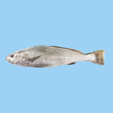 A fresh farmed Greek meagre fish in a light blue background