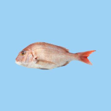 A fresh farmed Greek red porgy fish in a light blue background