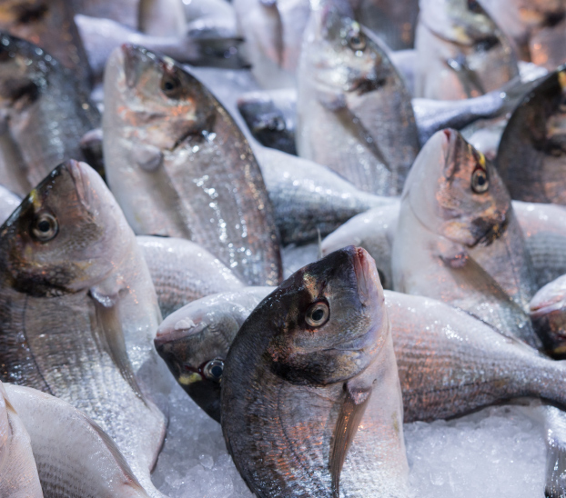 multiple fresh farmed sea breams on ice
