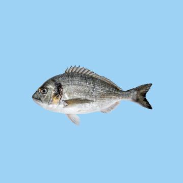 a fresh farmed sea bream fish in a light blue background